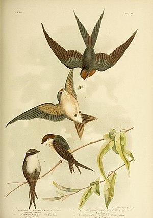 White-backed swallow - Birds of Australia Cheramoeca Leucosterna
