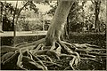 The ornamental trees of Hawaii (1917) (14742949916).jpg