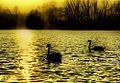 The swans - panoramio.jpg