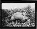 Theodore Roosevelt standing next to dead elephant.tif