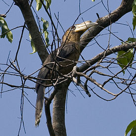 Tickells Brown Hornbill (Anorrhinus tickelli) in tree.jpg