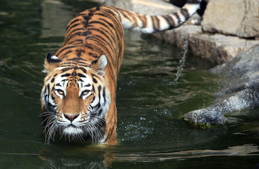 «Tigre de Sibérie» par Mulhouseville — Travail personnel. Sous licence CC BY-SA 3.0 via Wikimedia Commons - https://commons.wikimedia.org/wiki/File:Tigre_de_Sib%C3%A9rie.jpg#/media/File:Tigre_de_Sib%C3%A9rie.jpg