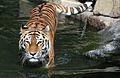 Tigre de Sibérie.jpg