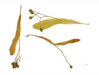 Plody lipy