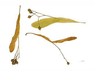 Tilia cordata - Mature fruits