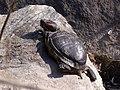 Trachemys scripta - Красноухая черепаха.jpg