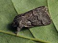 Trichiura crataegi ♂ - Pale eggar (male) - Коконопряд боярышниковый (самец) (39199148420).jpg