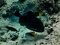 Triggerfish in Egypt.jpg