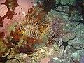 Tube anemones at Cement Barge DSC05864.JPG