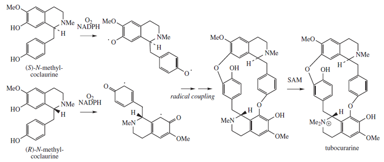 Tubocurarine proposed biosynthesis.