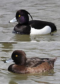 Tufted-Duck-male-female.jpg