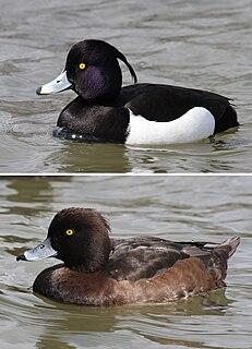 Tufted duck species of bird