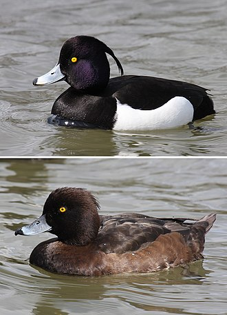 Tufted duck - Male / Female