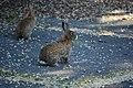 Tukwila, WA - Rabbits near W. Marginal Way and S 102nd Street 06.jpg