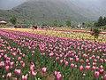 Tulip garden kashmir.jpg