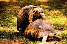Foto einer männlichen Schildkröte, die ein Weibchen bestieg