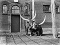 Twee Afrikaanse runderen in Artis, Bestanddeelnr 189-0132.jpg