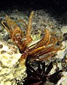 Two Echinoderms, feather star and slate pencil urchin at Marsa Shouna, Red Sea, Egypt.jpg