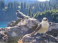 Two Grey Jays on a rock on a shore of Garibaldi Lake.jpg
