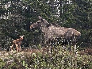 Two Moose by Umeälven (Umeå River) in Natura 2000 reserve in the Delta. Spring.jpg