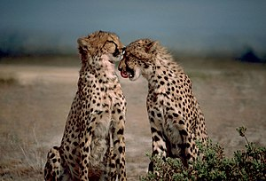 Two cheetahs together.jpg