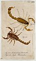 Two scorpions; Androctonus diomedes and Androctonus thessand Wellcome V0022412ER.jpg