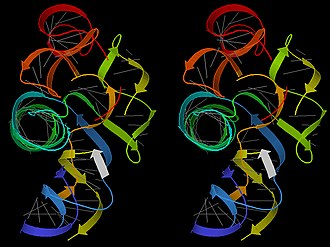 Biomolecule - Stereo 3D image of a group I intron ribozyme (PDB file 1Y0Q); gray lines show base pairs; ribbon arrows show double-helix regions, blue to red from 5' to 3' end; white ribbon is an RNA product.