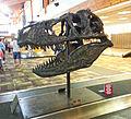 Tyrannosaur skull - bozeman airport - 2013-07-02 (9194953319).jpg