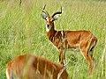 Uganda Kobs (Kobus thomasi) (18232289485).jpg