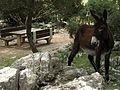 Una mula en el campo, Mallorca - panoramio.jpg