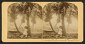 Under the cocoanut (coconut) trees, Fla, from Robert N. Dennis collection of stereoscopic views.png