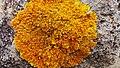 Une espèce de champinion au Belezma national park.jpg