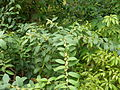 Unknown ericaceous shrub (16717513375).jpg