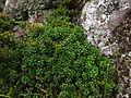 Vaccinium vitis idaea Stara planina 2.JPG