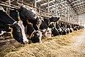 Vaci de rasa Holstein de la ferma Agroserv Mariuta.jpg