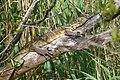 Varanus niloticus.jpg