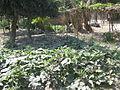 Vegetable field in a village in Bangladesh 2.JPG