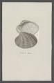 Venus spec. - - Print - Iconographia Zoologica - Special Collections University of Amsterdam - UBAINV0274 077 11 0006.tif