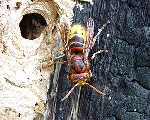 European hornet - V. crabro dorsal view
