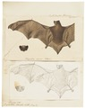 Vespertilio discolor - 1700-1880 - Print - Iconographia Zoologica - Special Collections University of Amsterdam - UBA01 IZ20800179.tif