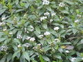 Viburnum davidii1.jpg