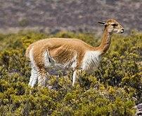 A vicuña (Vicugna vicugna) grazing near Arequi...