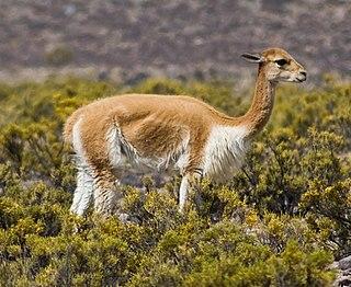 <i>Vicugna</i> genus of mammals