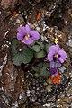 Viola flettii 4739.JPG
