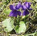 Viola odorata Garden 060402Bw.jpg