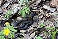 Vipera berus (common European viper), melanistic form (26966862482).jpg