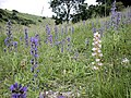 Vipers Bugloss on the South Downs - geograph.org.uk - 313397.jpg