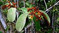 Vismia guianensis (Aubl.) Choisy (15488221924).jpg