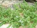 Vitex trifolia subsp. litoralis 01.jpg