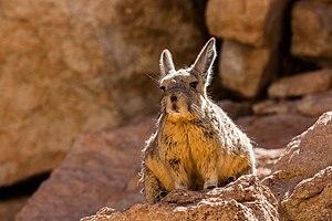 Southern viscacha - Southern viscacha (Lagidium viscacia), Siloli desert, Bolivia